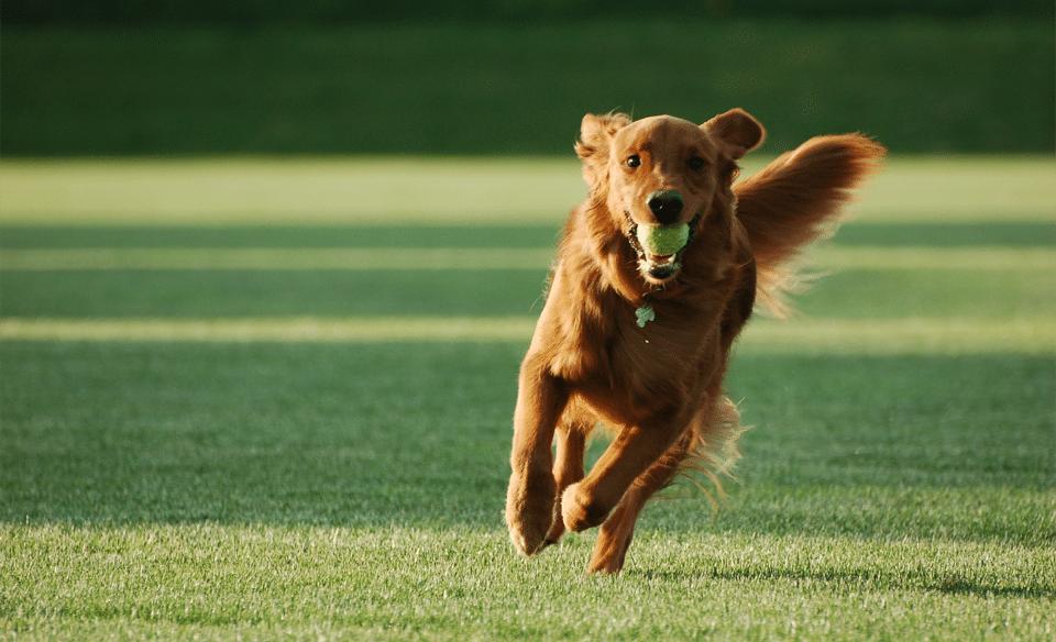 Câine alergând cu o minge de tenis în gură prin iarbă.