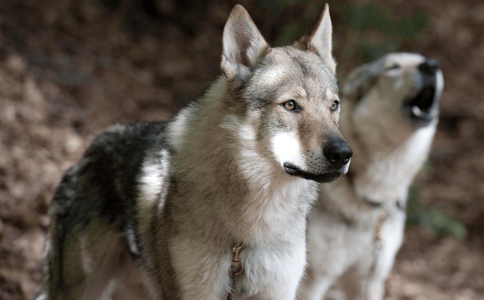 10 lucruri neobișnuite despre câinii lupi - Tărâmul Animalelor