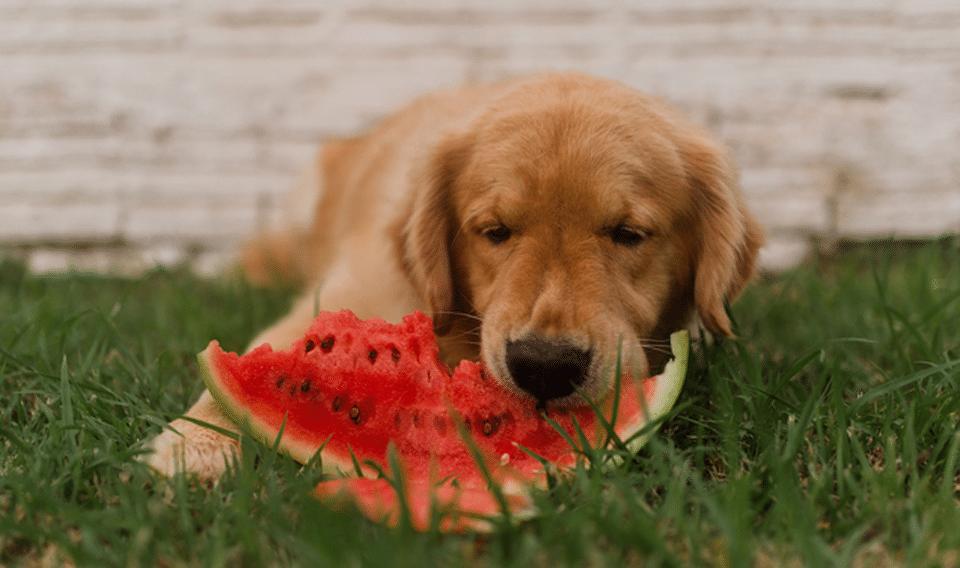 Cățel mâncând dintr-o felie de pepene în iarbă.