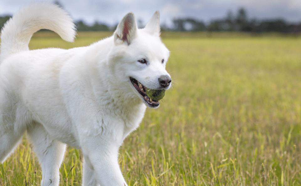 Câine rasa Jindo coreean ținând o minge de tenis în gură.