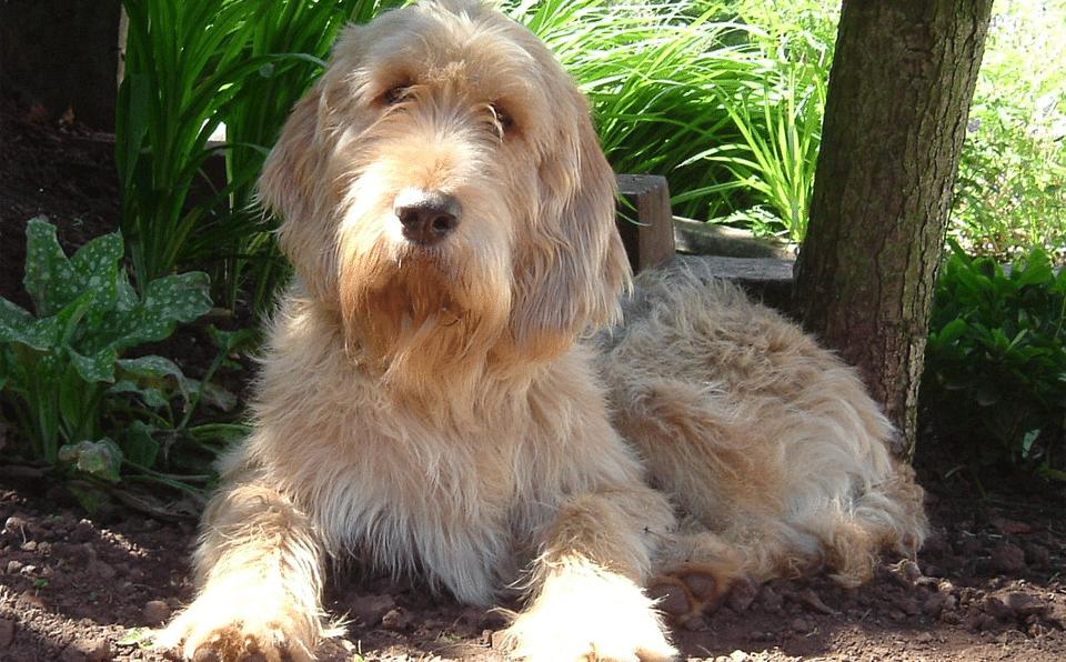 Câine rasa Otterhound stând culcat pe pământ.
