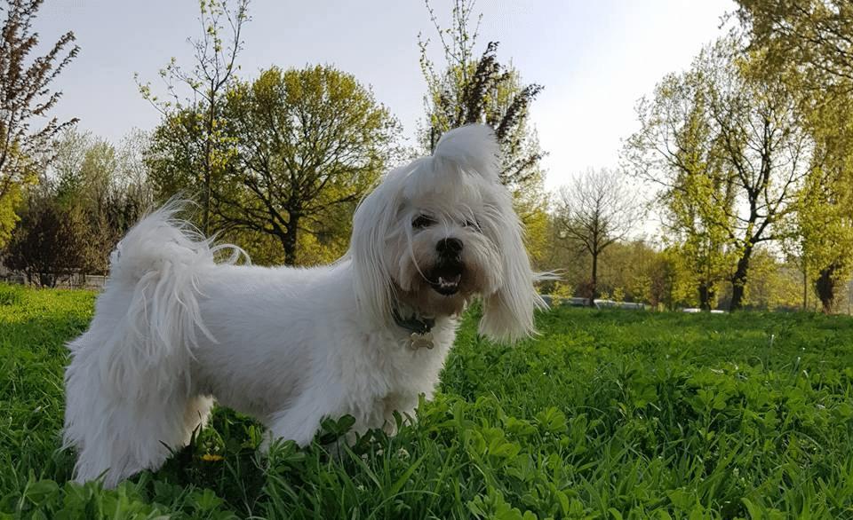 Câine rasa bichon maltez stând în iarbă.