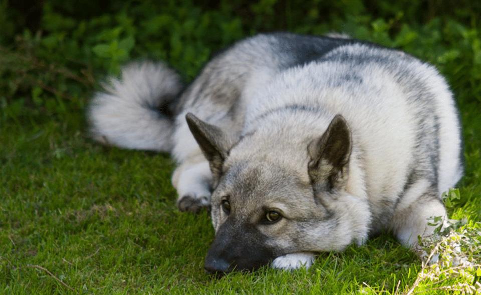 Câine rasa Elkhound stând culcat în iarbă.