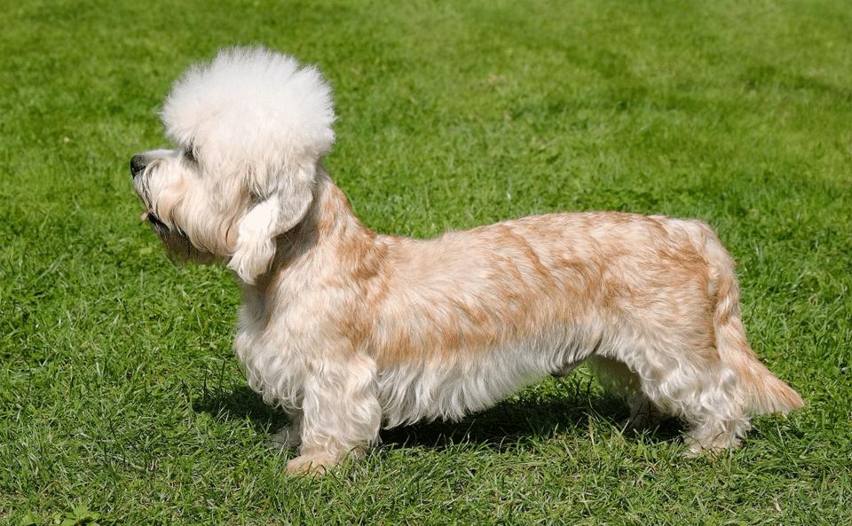 Câine rasa Terrier Dandie Dinmont văzut din profil.