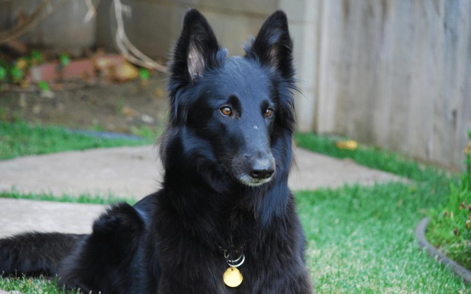 Câine ciobănesc belgian văzut de aproape.