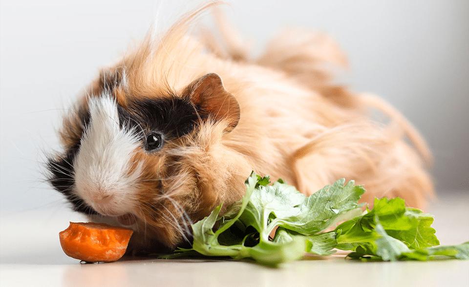 Porcușor de Guineea mâncând morcov și salată.