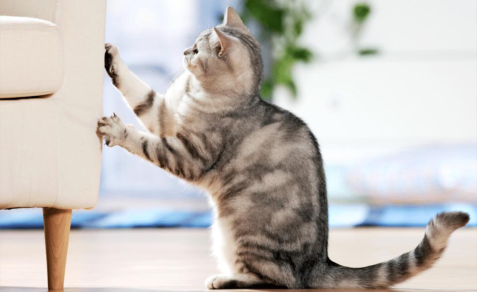 Pisica incercand sa zgarie un fotoliu alb.