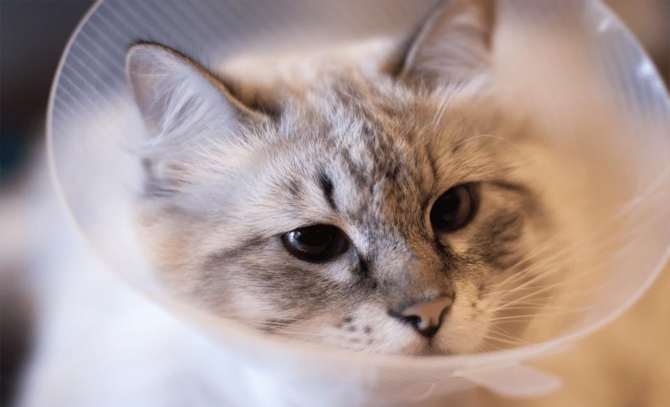 Pisica cu con de protectie la gat.