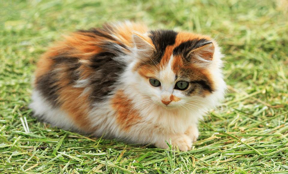 Pui de pisica rasa Calico stand in iarba.
