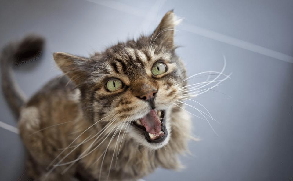 Pisica vazuta de aproape mieunand.