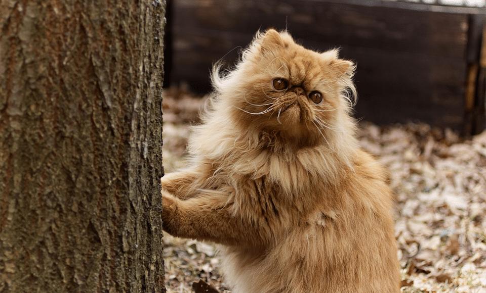 Pisica persana sprijinindu-se de un copac.