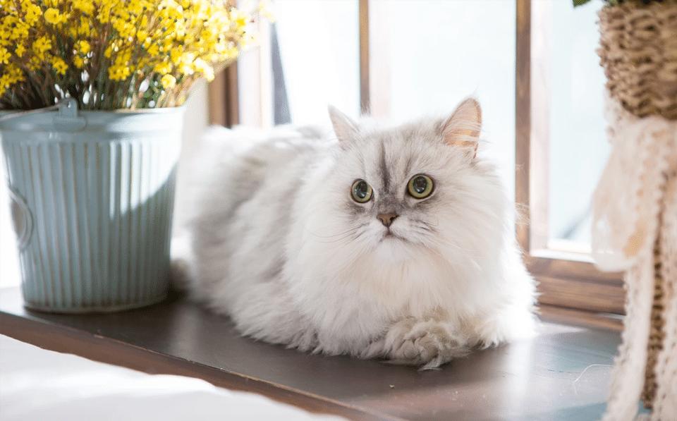 Pisica persana alba stand culcata pe pervazul unei ferestre.