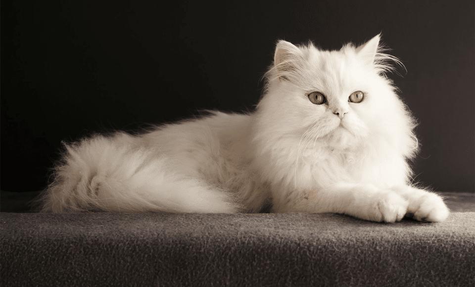 Pisica persana stand culcata.