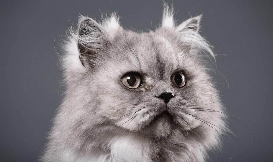 Pisica persana gri vazuta de aproape.