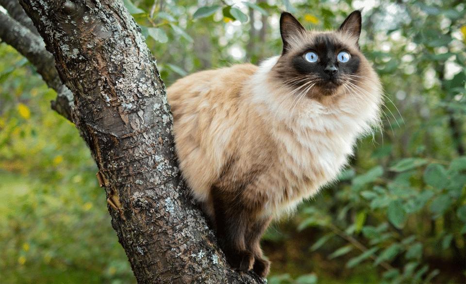 Pisica Balineza stand pe creanga unui copac.