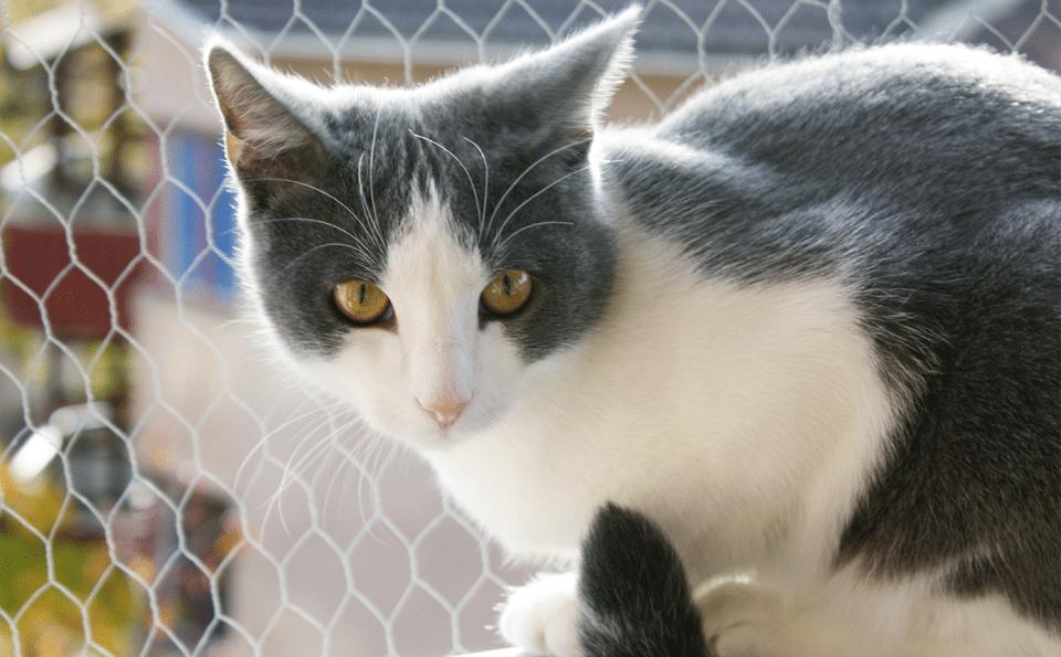 Pisica gri cu alb langa un gard din sarma.