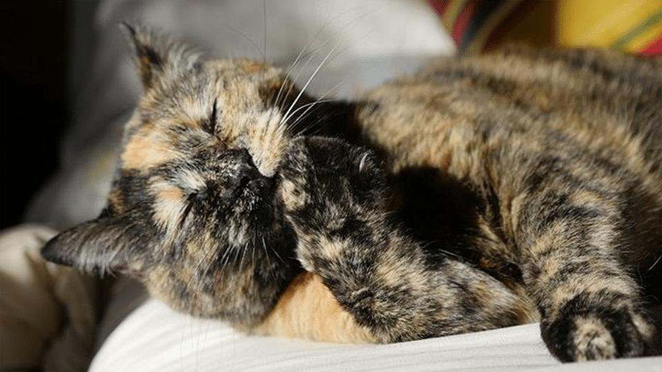 Pisica lingandu-si o labuta.