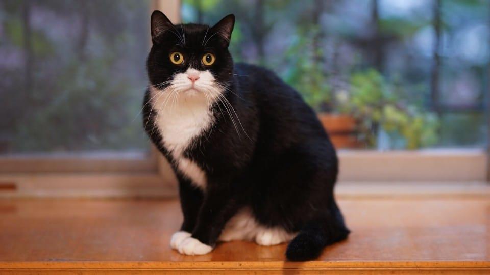 Pisica alb-negru stand pe pervazul unui geam.