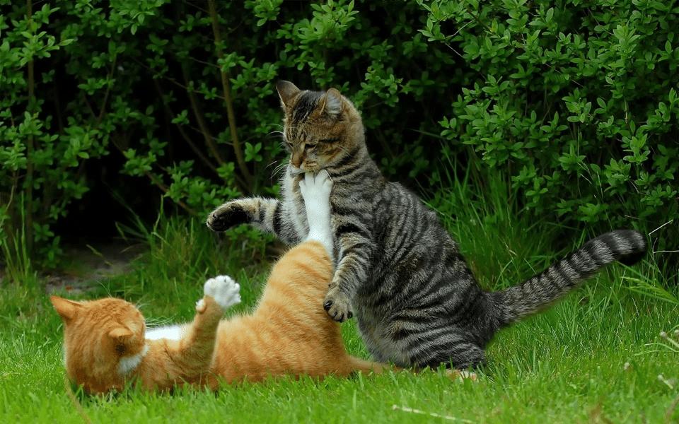 Doua pisici batandu-se in iarba.