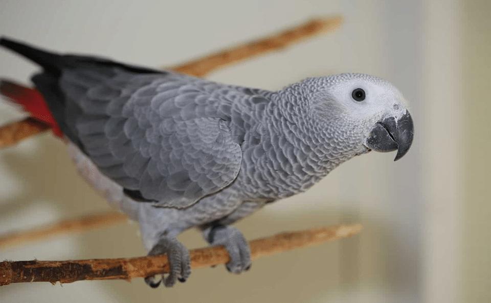 Papagal gri african stand pe o crenguta.