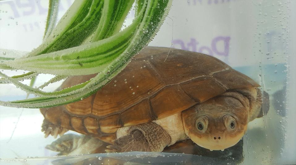 Broasca testoasa africana cu gat lateral pe fundul unui acvariu sub o planta.