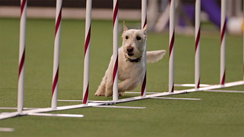 Catel alergand printr-un obstacol la un concurs de agilitate.