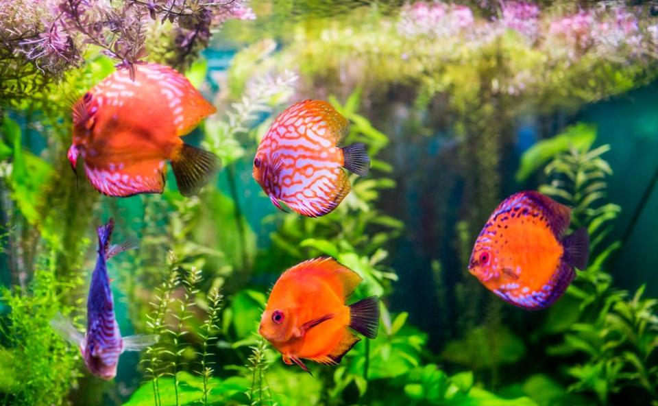Pesti inotand intr-un acvariu cu alge.