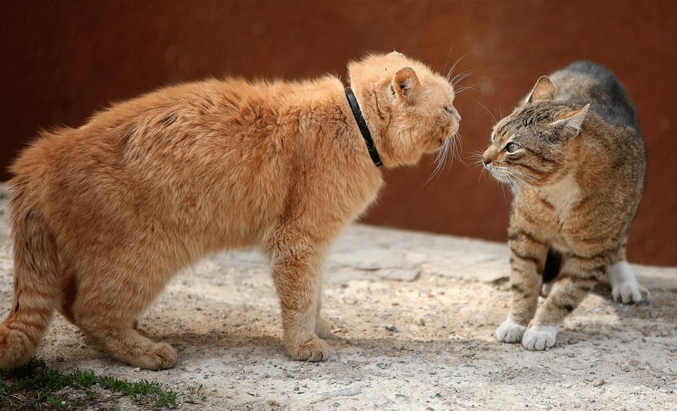 Doua pisici in posturi agresive.