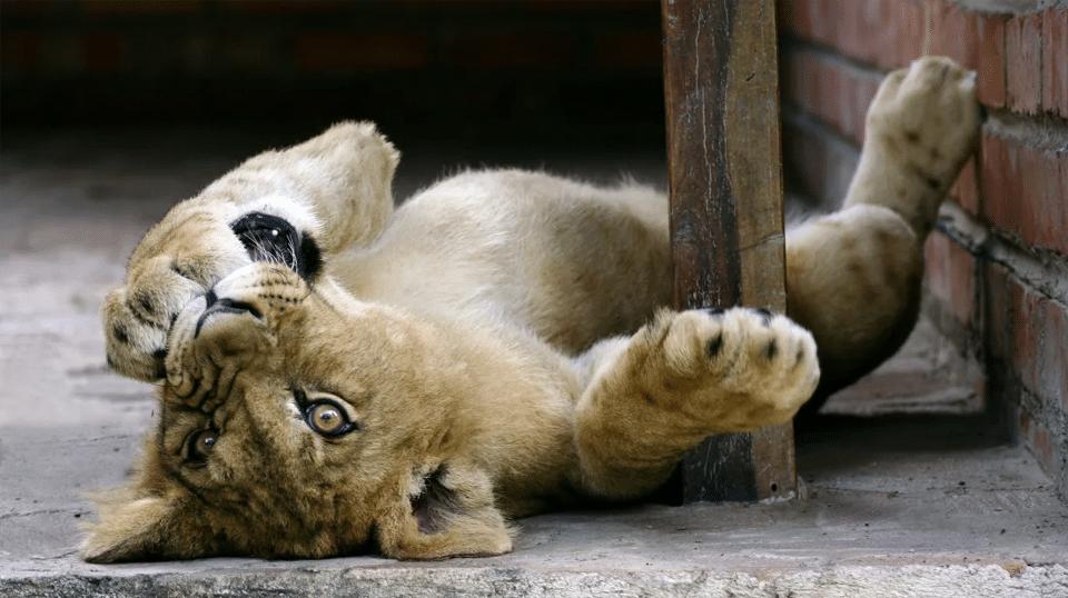 Pui de leu jucandu-se stand pe spate.