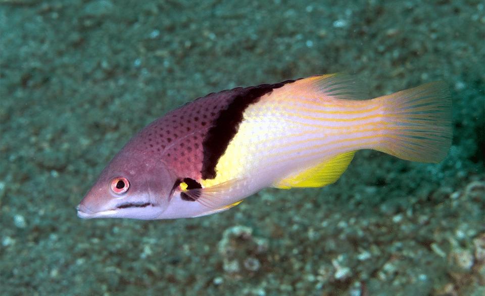 Peștele porc coral (Bodianus mesothorax) vazut de aproape.