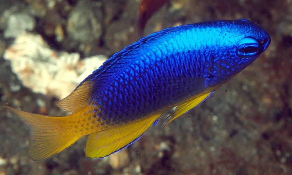 Peștele Damsel cu albastru și auriu (Pomancentrus coelestis) vazut de aproape.