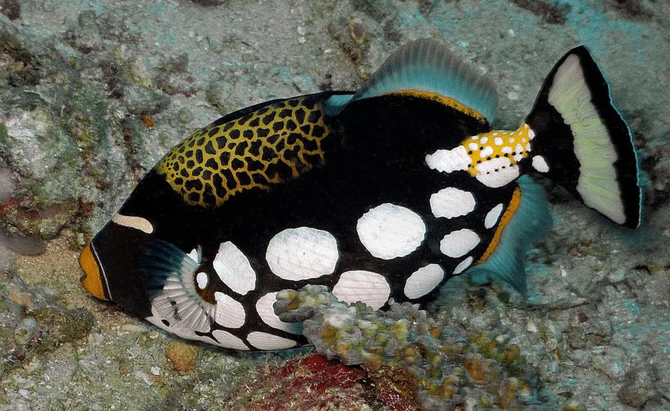 Pește-trăgaci clovn (Balistoides conspicillum) inotand aproape de fundul apei.