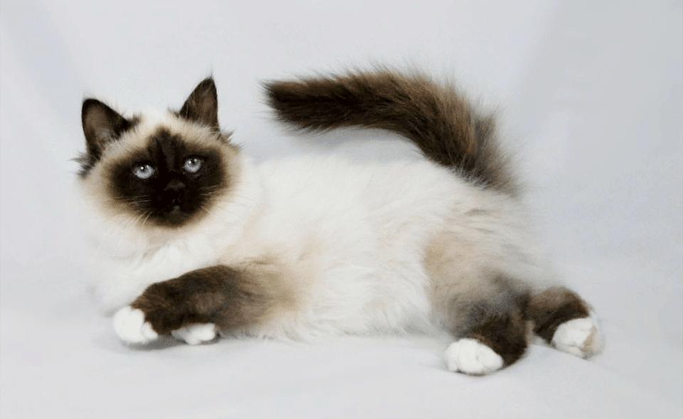 Pisica Birmaneza stand culcata.