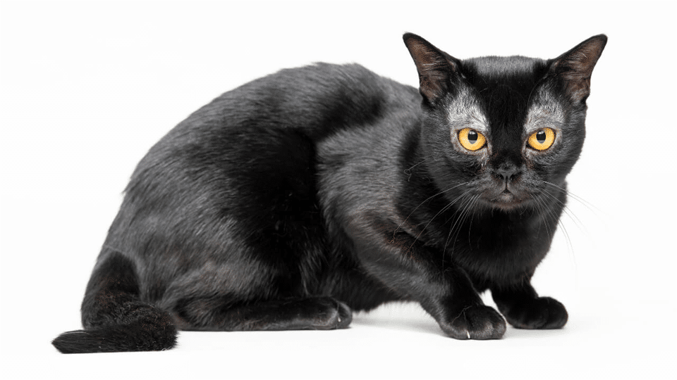 Pisica Bombay.