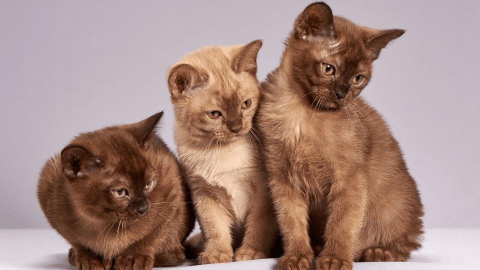 Trei pui de pisica burmeza de diferite culori.