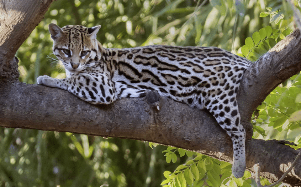 Pisica Ocelot stand culcata pe creanga unui copac.