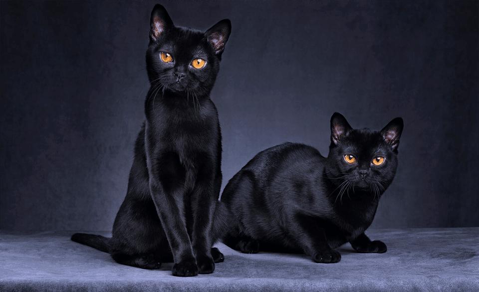 Doua pisici Bombay stand una langa alta.