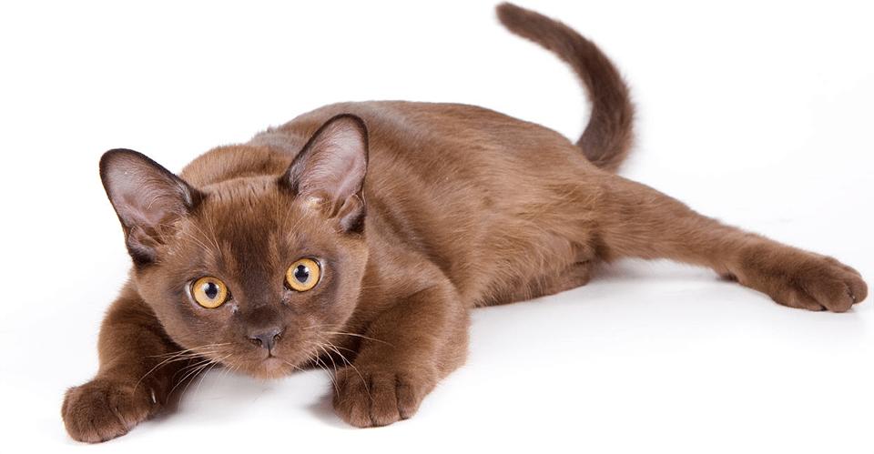Pui de pisica burmeza.