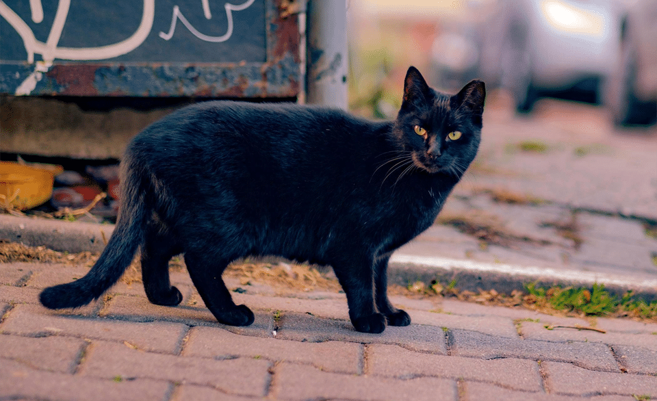 Pisica neagra pe un drum de caramizi.
