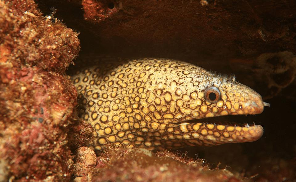 Țipar Jeweled Moray (Muraena letiginosa) vazut de aproape.