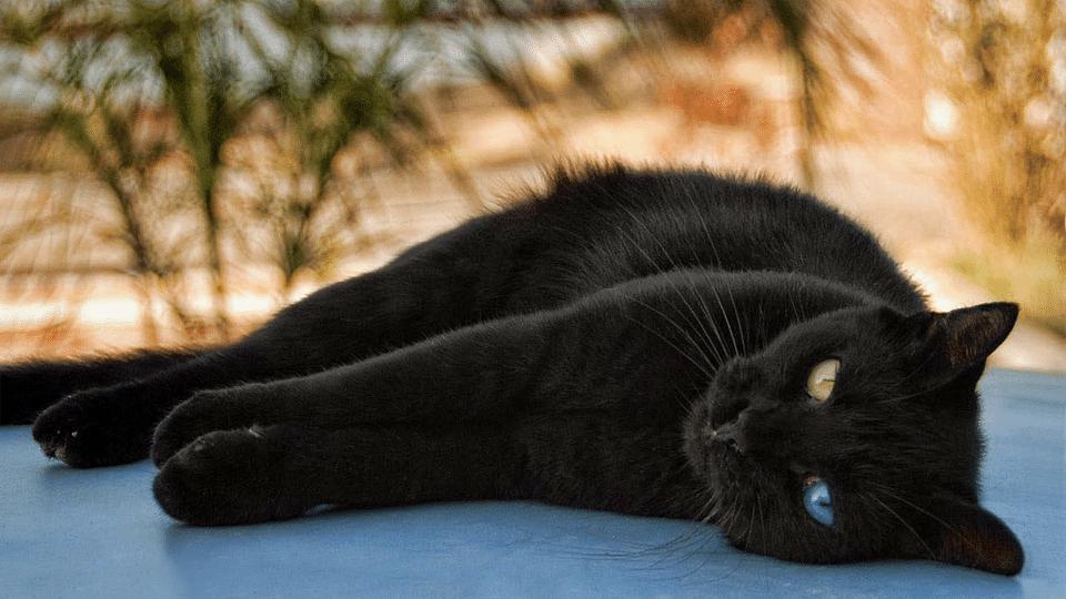 Pisica neagra cu un ochi galben si unul albastru stand culcata pe o parte.