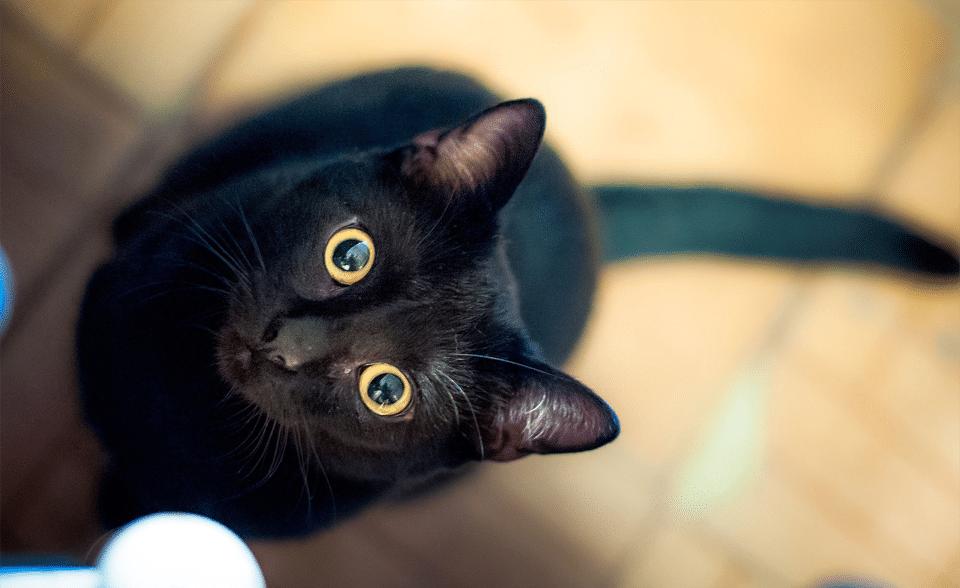 Pisica neagra uitandu-se in sus.