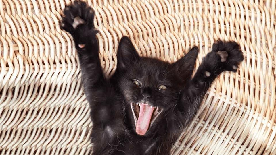 Pisicuta neagra cu labele ridicate si gura deschisa.