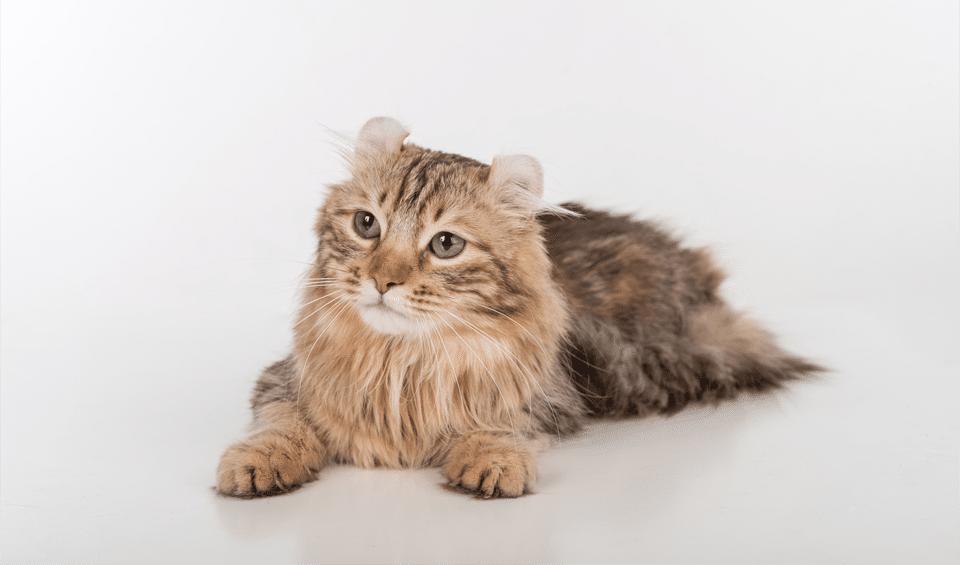 Pisica American Curl stand culcata.