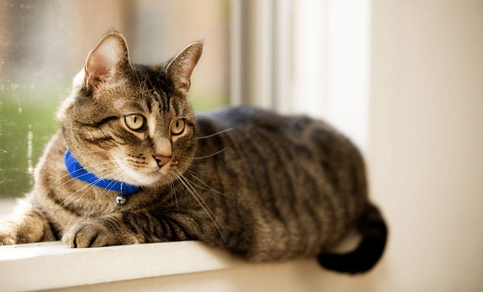 Pisica vargata cu zgarda albastra la gat.