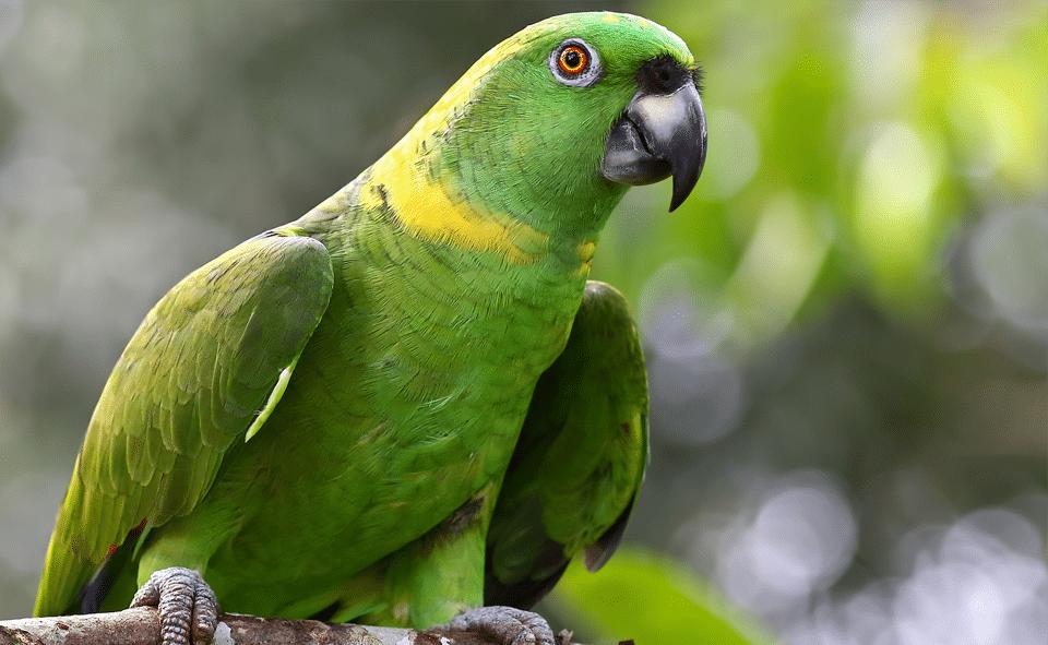 Papagal amazonian vazut de aproape.