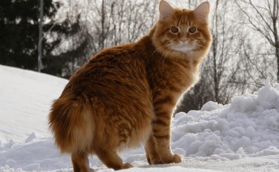 Pisica American Bobtail stand in zapada.