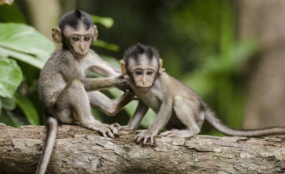 Doi pui de maimuta pe creanga unui copac.