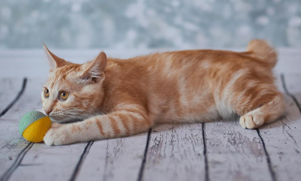 Pui de pisica American Bobtail jucandu-se cu o jucarie.