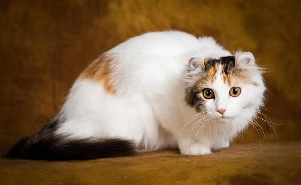 Pisica American Curl vazuta de aproape.